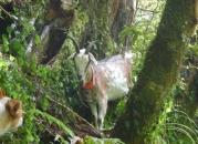judas goat 14 bail up